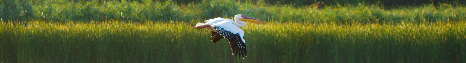 Дунайські плавні і рожеві пелікани